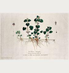 Le Lierre terrestre. Glecoma hederacea. Hedera. Edera. Ground jve. Gundelrab.