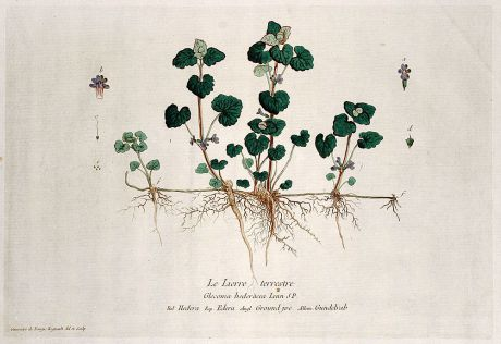 Graphics, Regnault, Ground Ivy, 1774: Le Lierre terrestre. Glecoma hederacea. Hedera. Edera. Ground jve. Gundelrab.