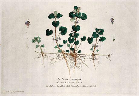 Grafiken, Regnault, Gundermann, 1774: Le Lierre terrestre. Glecoma hederacea. Hedera. Edera. Ground jve. Gundelrab.