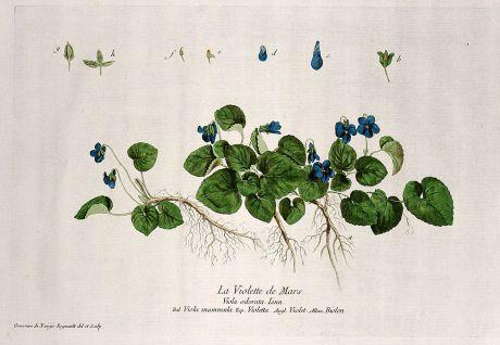 Grafiken, Regnault, Duftveilchen, 1774: La Violette de Mars. Viola odorata. Viola mammula. Violetta. Violet. Biolen.