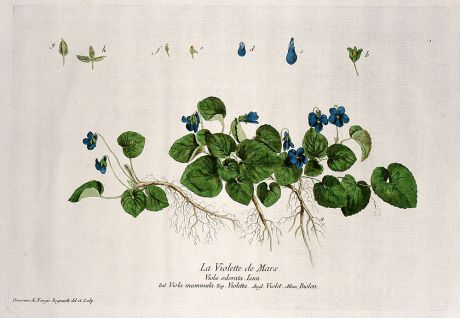 Graphics, Regnault, Sweet Violet, 1774: La Violette de Mars. Viola odorata. Viola mammula. Violetta. Violet. Biolen.